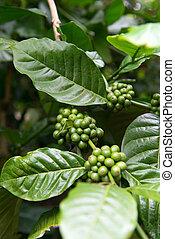 Coffee plant - Detail of coffee berries growing on...