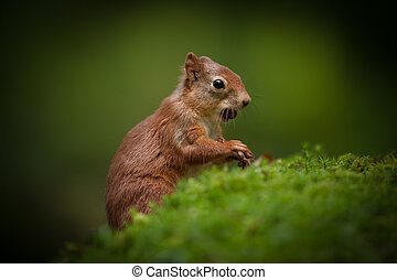 Red Squirrel Baby.