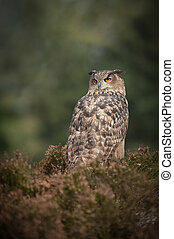 European Eagle Owl - A European Eagle Owl perched in heather...