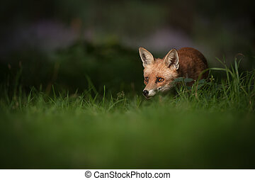 Red Fox - A female Red Fox in the dappled light of early...