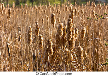 Cattails - Multiple Cattails in a March on a Summer...