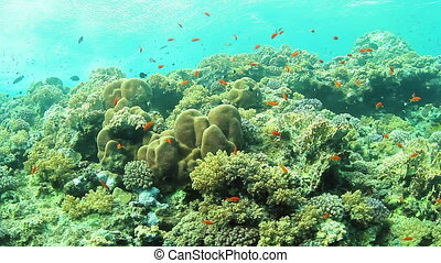 Coral reef - Tropical coral reef and small fishes in the Red...