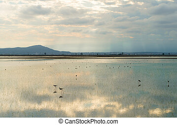 Ebro Delta - Water birds on rice plantations at Ebro Delta,...