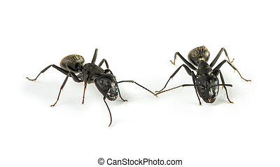 Black Ants white isolated studio shot