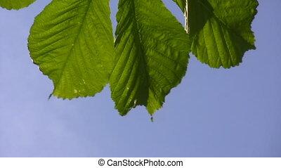 Chestnut leaf close up - Green chestnut leaves swinging...