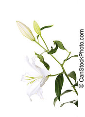 White lily flower isolated on white
