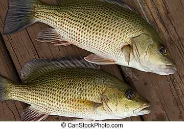 Mangrove Snapper - Close up mangrove snapper fish in western...