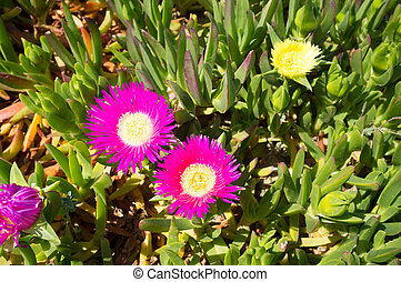 Ice plant - Full frame take of an ice plant in with purple...