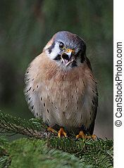 Screeching American Kestrel - An American Kestrel (Falco...