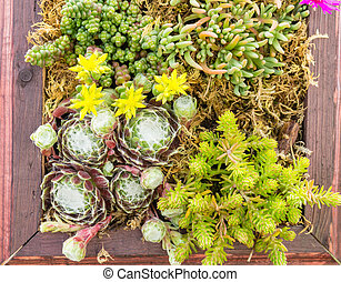 Sedum or sempervivum plants planted in a container - A...