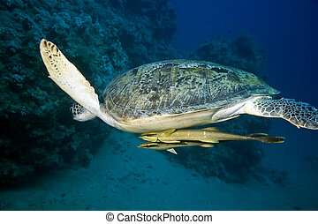 female green turtle chelonia mydastaken in the red sea