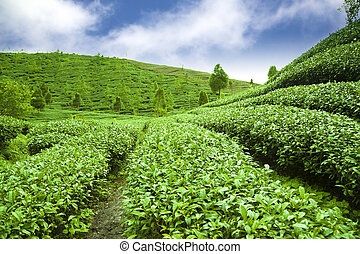 green tea garden with cloud background
