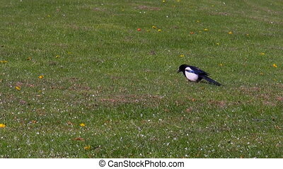 Limping magpie on the grass - Cautious common magpie bird...