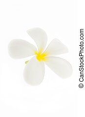 Tropical flowers frangipani plumeria isolated on white...