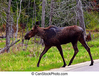 Moose Crossing Highway. - Moose near Bancroft, Ontario