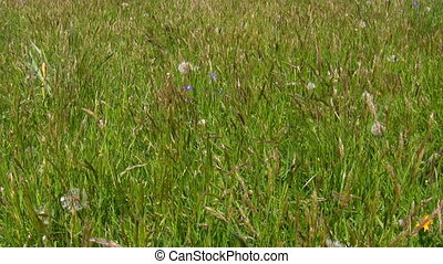 Uncut grass background - Summertime. Meadow grass bents...