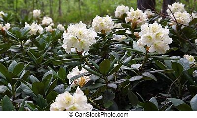 Caucasian rhododendron blooms in the woods