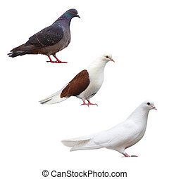 pigeon dove isolated white bird set black collection nature