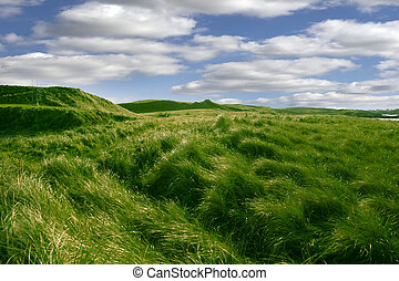 tall green grass on the dunes of Ballybunion golf course in...