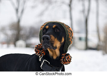 trendy dog - a doberman dog with a cap on his head with a...