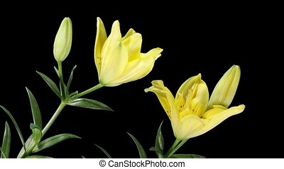 Blooming yellow lily flower buds ALPHA matte Lilium Fifty...