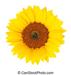 Sunflower (Helianthus annuus) isolated - Sunflower...