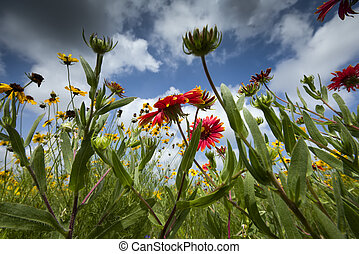 Texas Wildflowers - Sunflowers and Indian blankets against a...