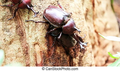 Beetle in Fraxinus suck sap for adv or others purpose use