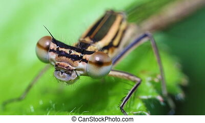 Northern damselfly - super macro - Head of a northern...