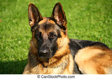 German shepherd dog portrait
