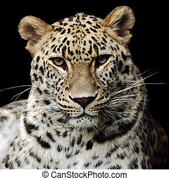 african leopard - a beautiful leopard isolated on black