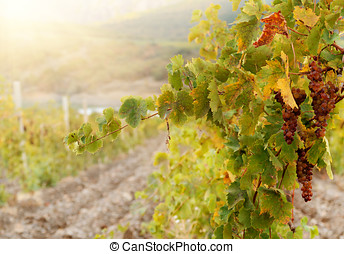 Green muscat grapes - Bunch of green muscat grapes on vine...