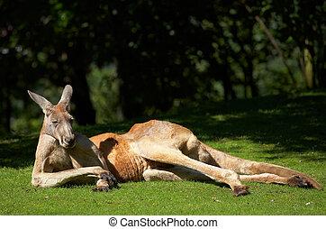 Kangaroo - Red kangaroo. Sort : Macropus rufus. Horizontal...