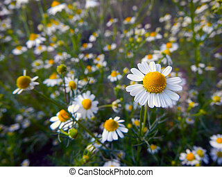 Hungarian chamomile - Flowers of Hungarian chamomile...