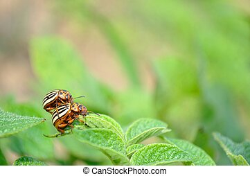 Colorado potato beetle - Wreckers of potato - Colorado bugs...