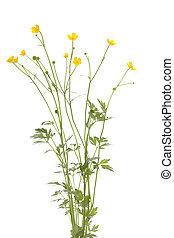 buttercup - yellow buttercup (Ranunculus bulbosus) on white...