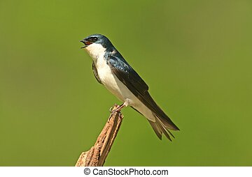 Tree Swallow on a stump - Tree Swallow tachycineta bicolor...