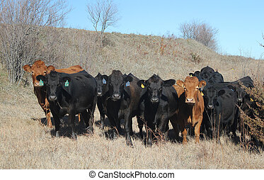 Limousin Cattle in dry pasture - Limousin cattle in a dry...