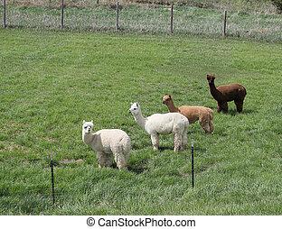 grupo, alpacas, pasto