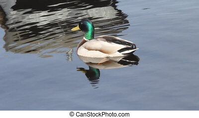 mallard duck in the lake in the spring