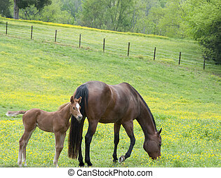 Mare and Foal - A mare and her foal in a green field of...
