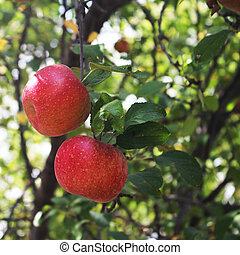 2 Red Apples - Two red apples hanging on an apple tree