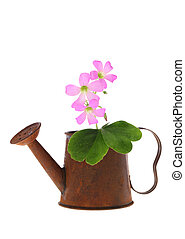 Little pink flower in watering can - Little pink flower in a...