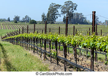 Grapevines in a Row
