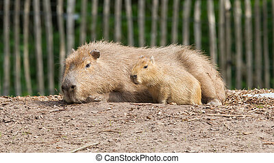 Close up of a Capybara and a baby - Close up of a Capybara...