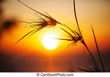 Silhouette of grass in sunset time Colors yellow and orange...