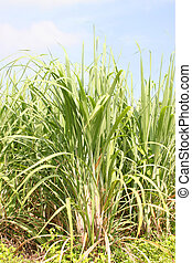 plantación, bastón, azúcar