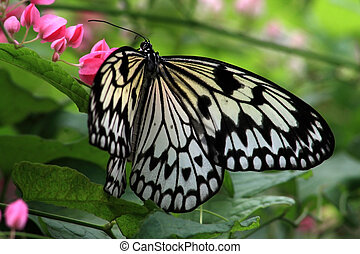 Rice Paper butterfly (Idea leuconoe) photographed in the...