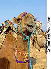 Camel on sahara - Group of camels on the sahara desert in...