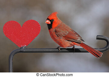 Cardinal With A Heart - Northern Cardinal (Cardinalis...